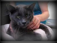 Domestic Short Hair - Alex - Large - Young - Male -