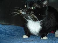 Domestic Short Hair - Alex - Medium - Young - Male -