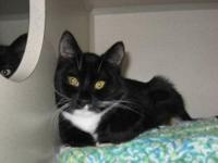 Domestic Short Hair - Ali - Medium - Adult - Female -