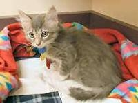 Domestic Short Hair - Allen Stone - Small - Baby - Male
