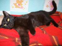 Domestic Short Hair - Allie - Medium - Young - Female -
