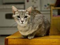 Domestic Short Hair - Allie - Small - Adult - Female -