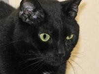 Domestic Short Hair - Alvin - Medium - Senior - Male -