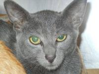 Domestic Short Hair - Alvin - Small - Young - Male -