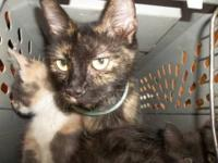 Domestic Short Hair - Amanda - Medium - Adult - Female