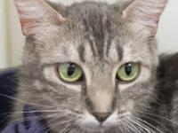 Domestic Short Hair - Amber - Small - Adult - Female -