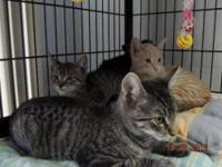 Domestic Short Hair We are 4, count them, 4 sweet