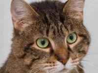 Domestic Short Hair - Amy - Medium - Adult - Female -