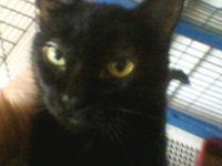 Domestic Short Hair - Anchovy - Medium - Young - Male -
