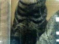Domestic Short Hair - Andy - Large - Young - Male -