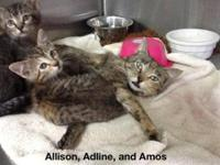 Domestic Short Hair - Angel - Medium - Adult - Female -
