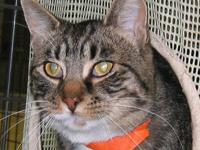 Domestic Short Hair - Angus - Medium - Young - Male -