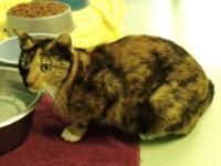 Domestic Short Hair - Annabelle - Medium - Adult -
