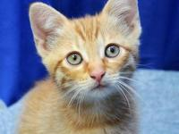Domestic Short Hair - Aramis - Small - Baby - Female -