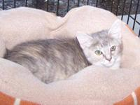 Domestic Short Hair - Arlana - Small - Baby - Female -