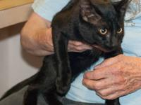 Domestic Short Hair - Artemis - Medium - Young - Male -