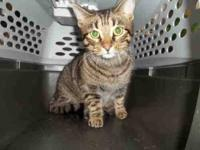 Domestic Short Hair - Audrey - Large - Adult - Female -