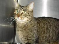 Domestic Short Hair - Audrey - Small - Adult - Female -