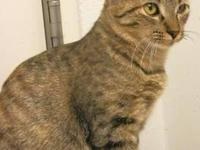 Domestic Short Hair - Aurora - Medium - Young - Male -