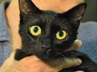 Domestic Short Hair - Babal - Medium - Young - Female -