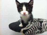 Domestic Short Hair - Baby - Medium - Young - Female -