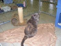 Domestic Short Hair - Baby Sara - Large - Senior -