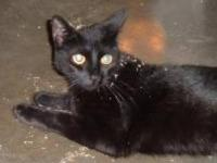 Domestic Short Hair - Baby - Small - Adult - Female -
