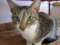 Domestic Short Hair - Bailey - Small - Young - Female -