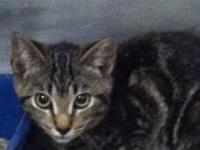 Domestic Short Hair - Ballie - Small - Young - Female -