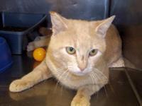 Domestic Short Hair - Barn Cats Available - Medium -