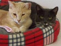 Domestic Short Hair - Barn Cats - Small - Adult - Male