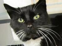 Domestic Short Hair - Barney - Large - Adult - Male -