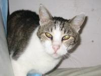 Domestic Short Hair - Bart - Medium - Adult - Male -