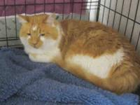 Domestic Short Hair - Baxter - Large - Adult - Male -
