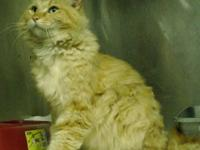 Domestic Short Hair - Baxter - Small - Adult - Male -