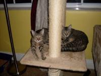 Domestic Short Hair - Becky - Small - Baby - Female -
