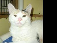 Domestic Short Hair - Becky - Small - Young - Female -