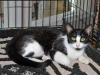 Domestic Short Hair - Bell - Medium - Young - Female -