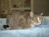 Domestic Short Hair - Bella - Medium - Adult - Female -