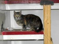 Domestic Short Hair - Bellrouse - Medium - Young -