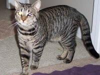 Domestic Short Hair - Ben - Medium - Adult - Male -