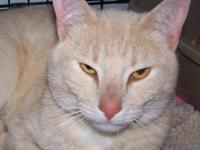 Domestic Short Hair - Benny - Medium - Young - Male -