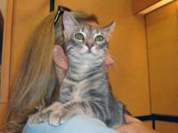 Domestic Short Hair - Bialy - Medium - Young - Female -