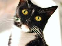 Domestic Short Hair - Bianca - Small - Adult - Female -