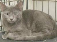 Domestic Short Hair - Billy - Medium - Baby - Male -