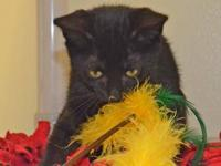 Domestic Short Hair - Billy - Small - Baby - Male -