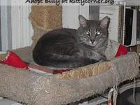 Domestic Short Hair - Billy Whiteshoes - Medium - Adult