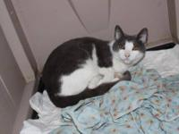 Domestic Short Hair - Birdie - Medium - Young - Female