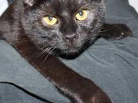 Domestic Short Hair - Black - 13 Of 30: Valko - Medium