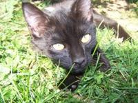Domestic Short Hair - Black - Ace - Medium - Young -